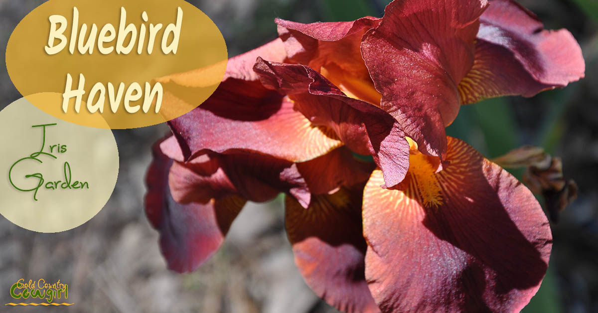 During the height of blooming season, you can see more than 100,000 irises at Bluebird Haven Iris Garden in Somerset, CA, in southern El Dorado County.