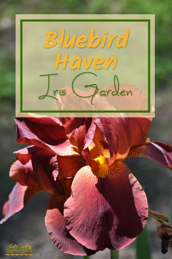 Beautiful reddish iris with text overlay: Bluebird Haven Iris Garden