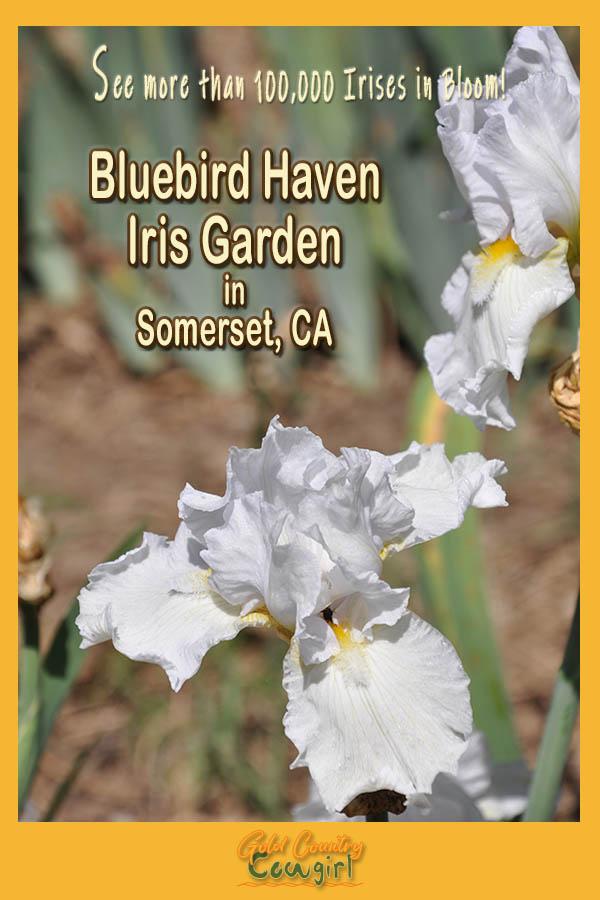 white iris with text overlay: See over 100,000 irises in bloom Bluebird Haven Iris Garden in Somerset, CA