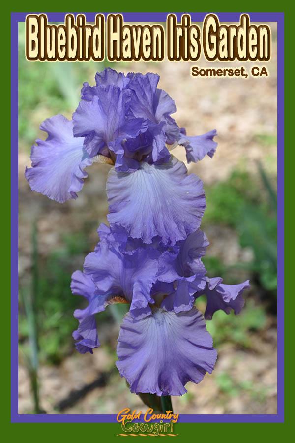 blue iris with text overlay: Bluebird Haven Iris Garden Somerset, CA