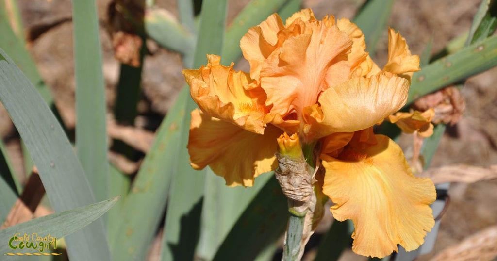 Golden iris at Bluebird Haven Iris Garden in Somerset, CA