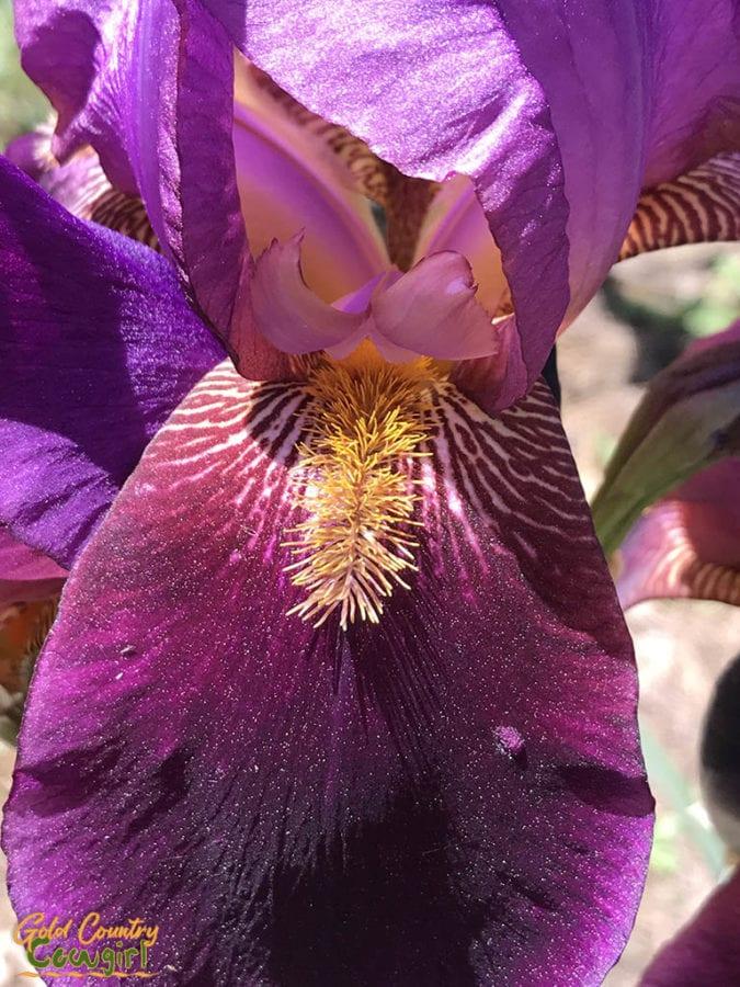 iris at Bluebird Haven Iris Garden in Somerset, CA