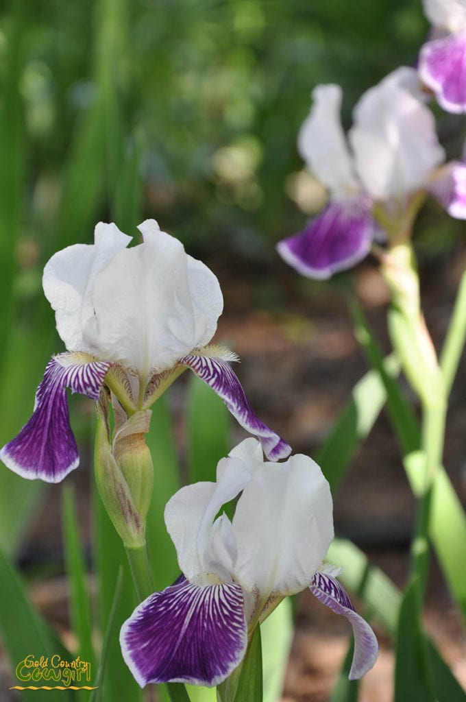 Purple and white iris at Bluebird Haven Iris Garden in Somerset, CA