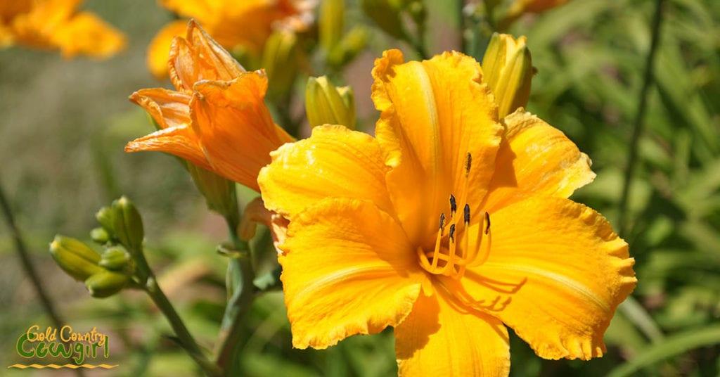 Amador Flower Farm Daylilies - Bright yellow orange_5072