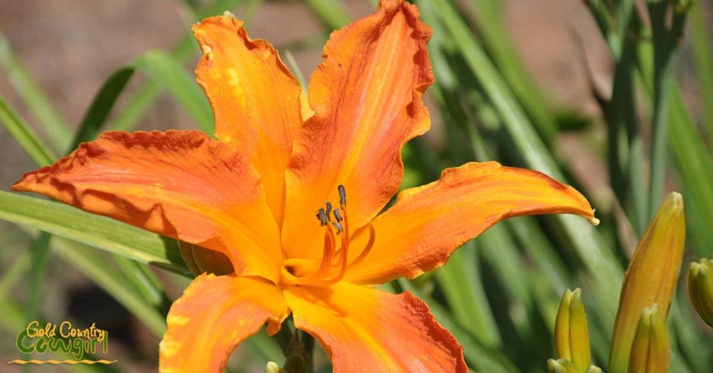 Amador Flower Farm Daylilies - bright orange star_5066