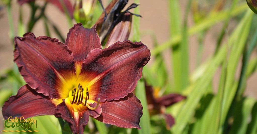 Amador Flower Farm Daylilies - burgundy and yellow_5054