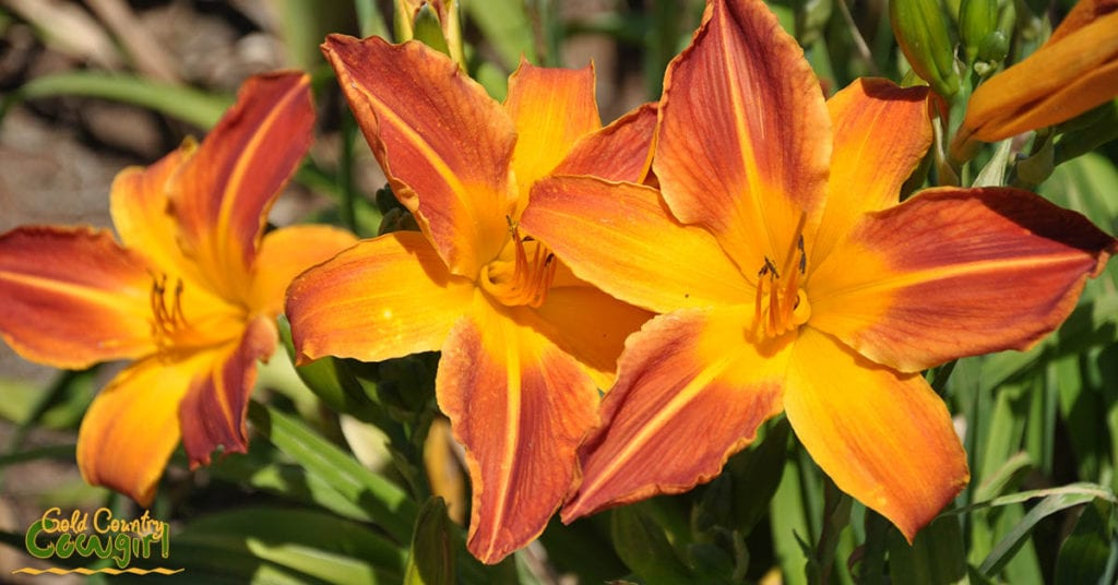 Amador Flower Farm Daylilies - orange and yellow_5057