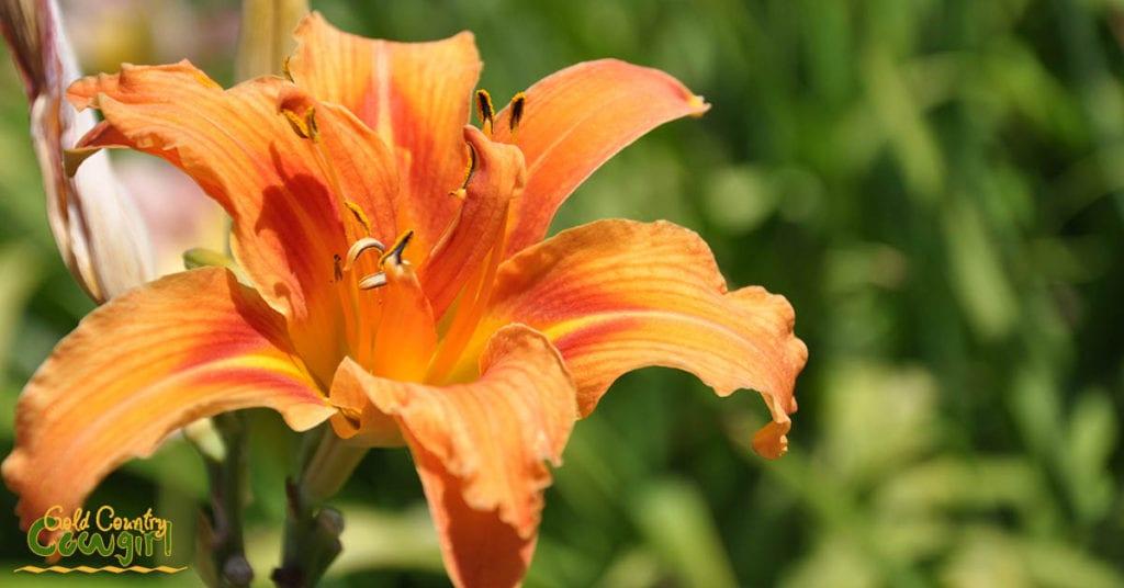 Daylily orange_5052