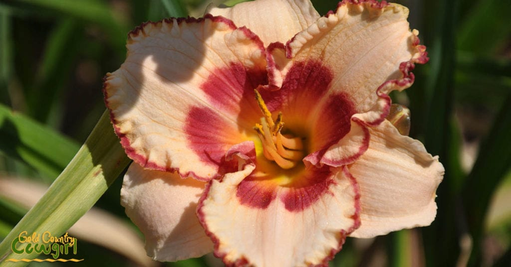 Daylily pale pink and burgundy_5084
