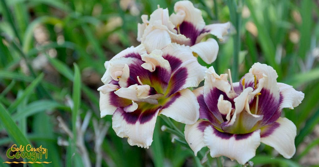 Daylily pale pink and purple_5077