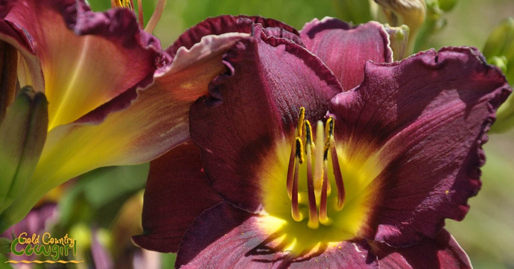 Daylily purple and yellow_5082