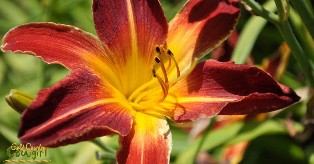Daylily red and yellow_5063