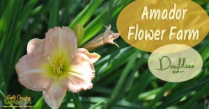 Amador Flower Farm daylilies come in a variety of shapes, sizes, colors and bloom cycles. They are easy to grow and are just about the perfect perennial.