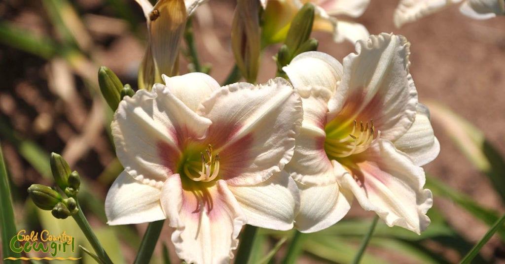 Daylily white and pink_5101
