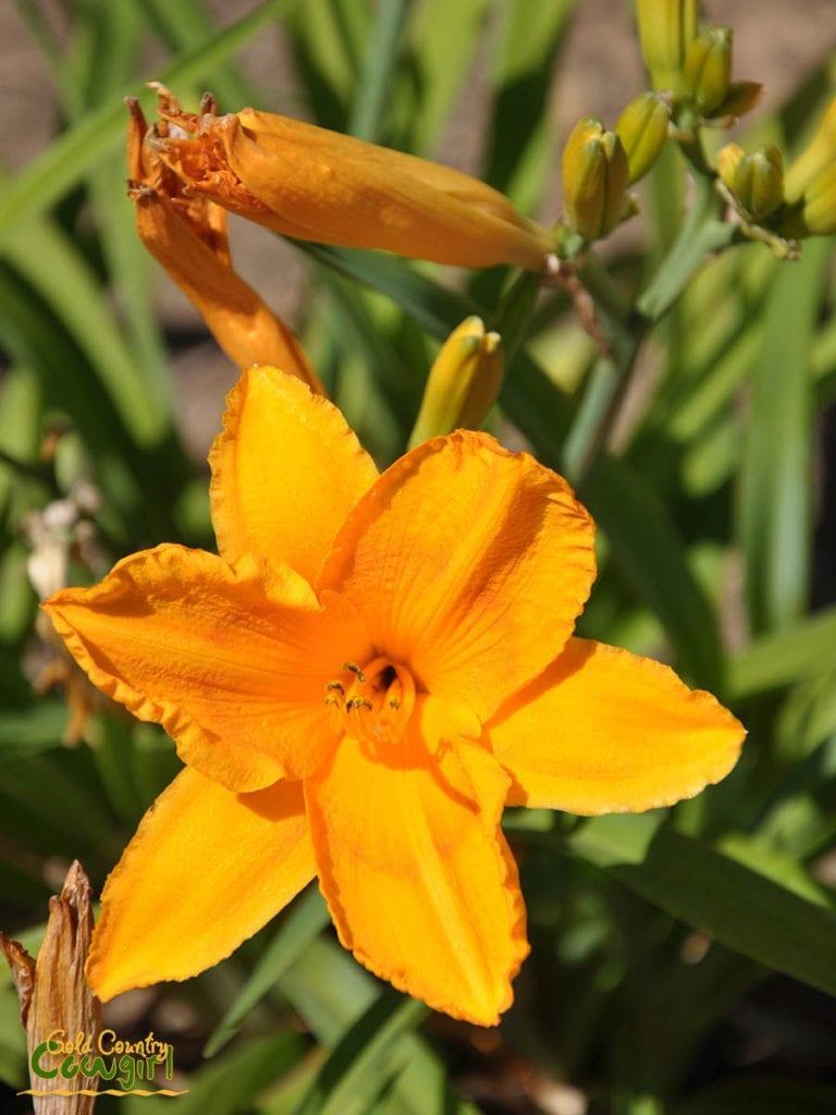 H Daylily yellow orange_5092