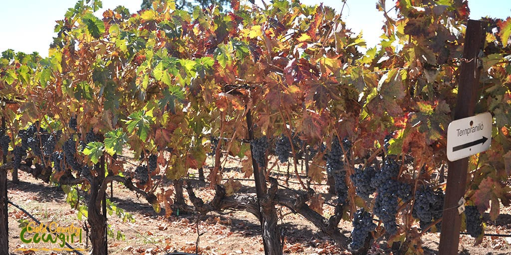 ripe-tempranillo-at-bray-vineyards
