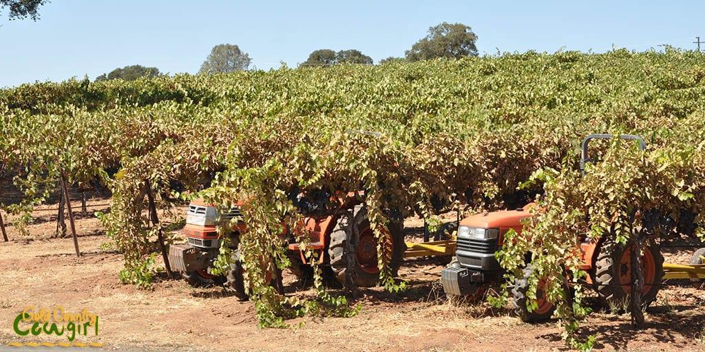 Vines at Bray Vineyards