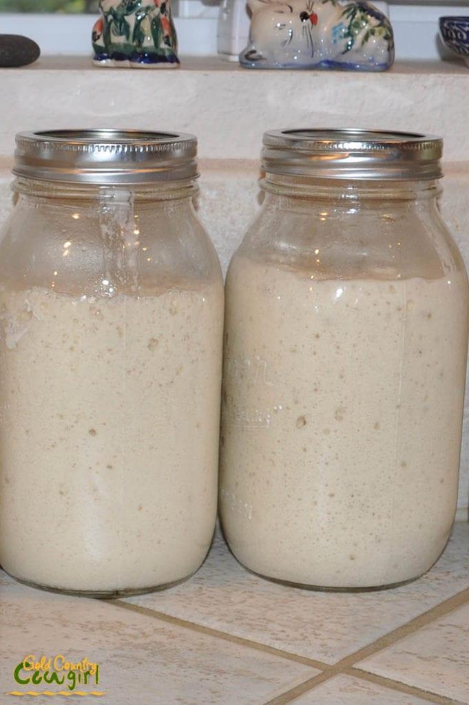 sourdough-starter-in-jars