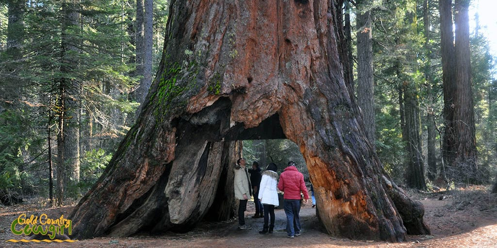 people standing in the opening of the Pioneer Cabin Tree