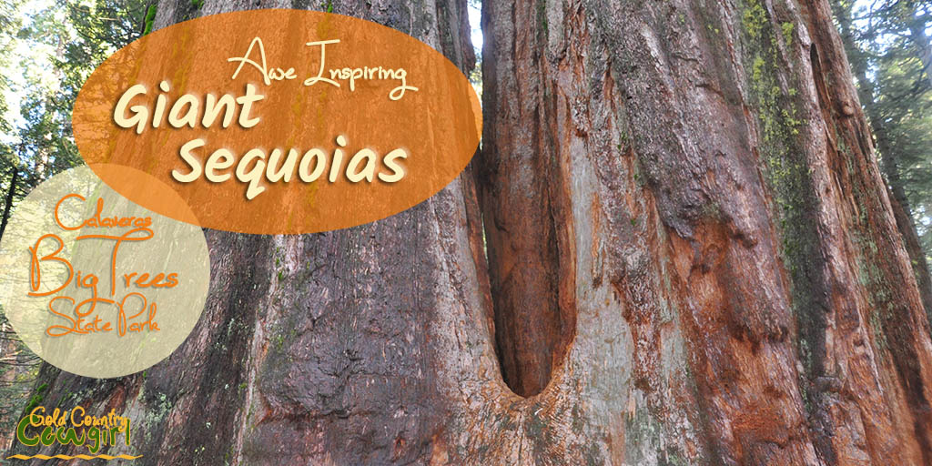 Did you know that the giant sequoias are the largest living thing to ever have existed on earth? You can visit them at several locations in Gold Country.