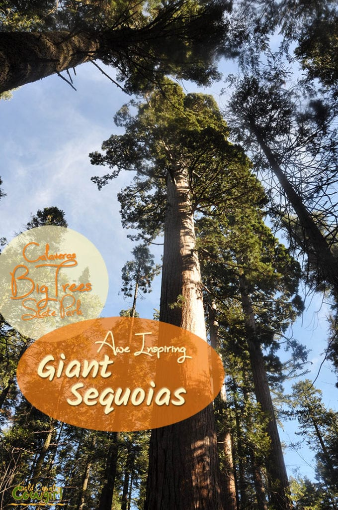 upward view of giant sequoias with text overlay: Awe inspiring giant sequoias Calaveras Big Trees State Park