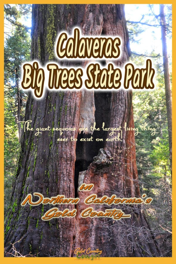 photo of a deep cut in the trunk of a giant sequoia with text overlay: Calaveras Big Trees State Park in Northern California's Gold Country