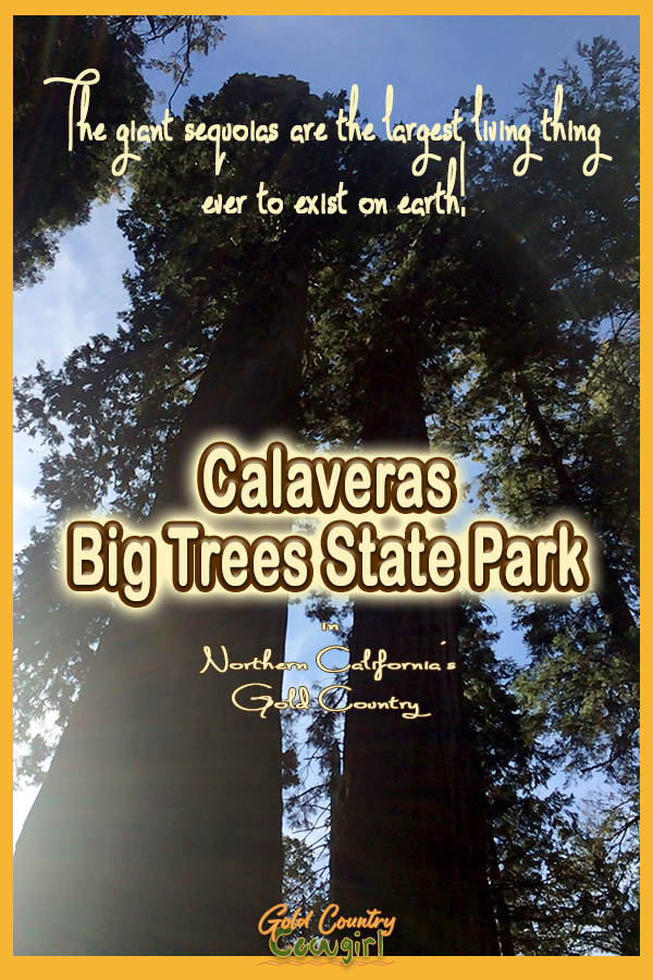 view up giant sequoias to the sky with text overlay: The giant sequoias are the largest living thing ever to exist on earth! Calaveras Big Trees State Park in Northern California's Gold Country
