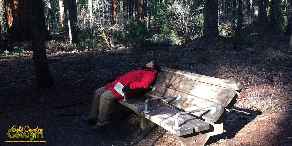 person sitting on angled bench looking up at the giant sequoias in Calaveras Big Trees