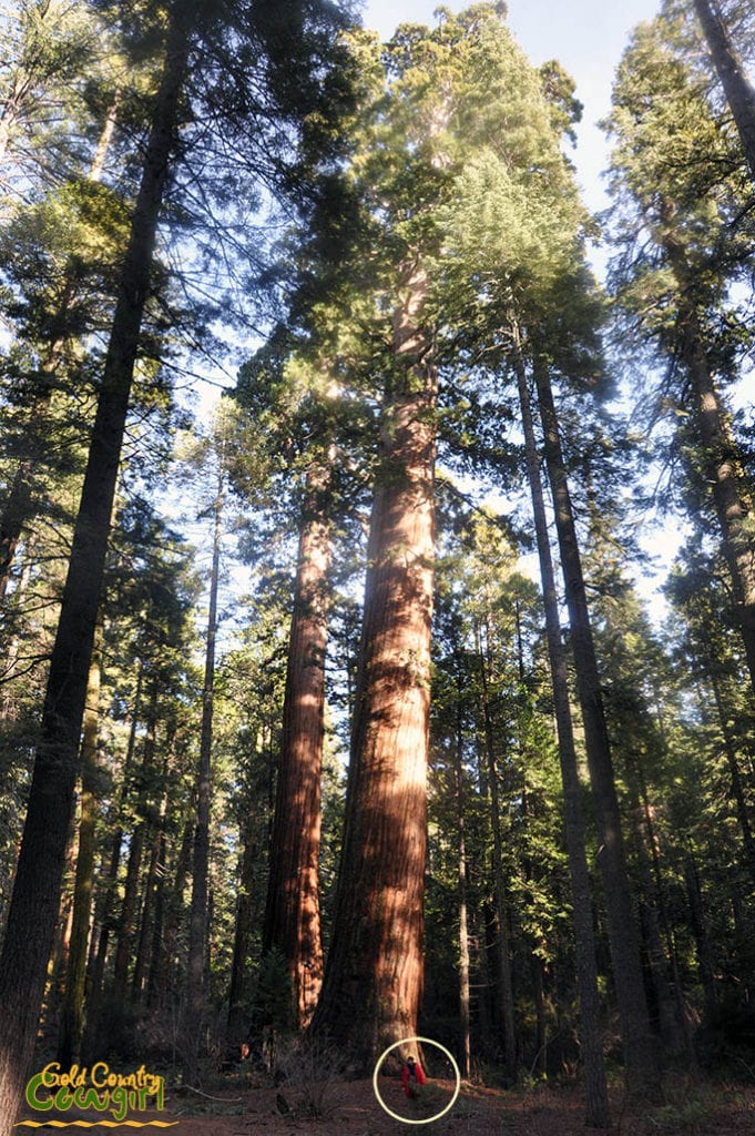 person standing at the base of the largest giant sequoias in the North Grove of Calaveras Big Trees