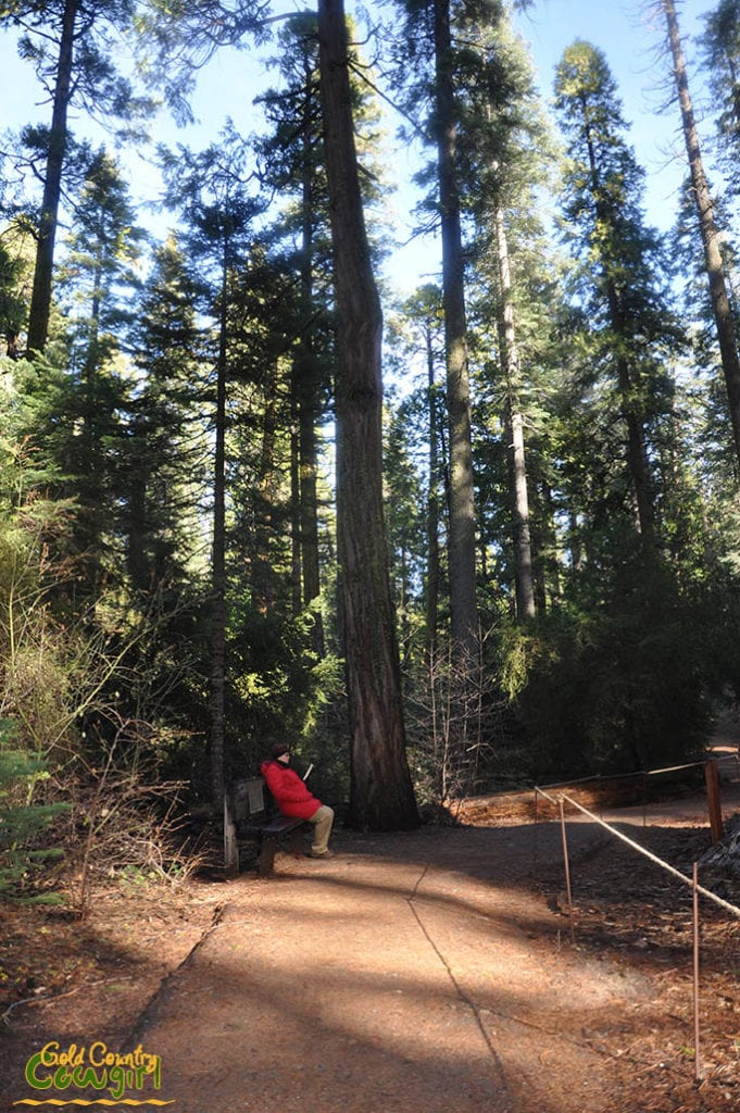 person sitting on bench at base of a giant sequoia in Calaveras Big Trees
