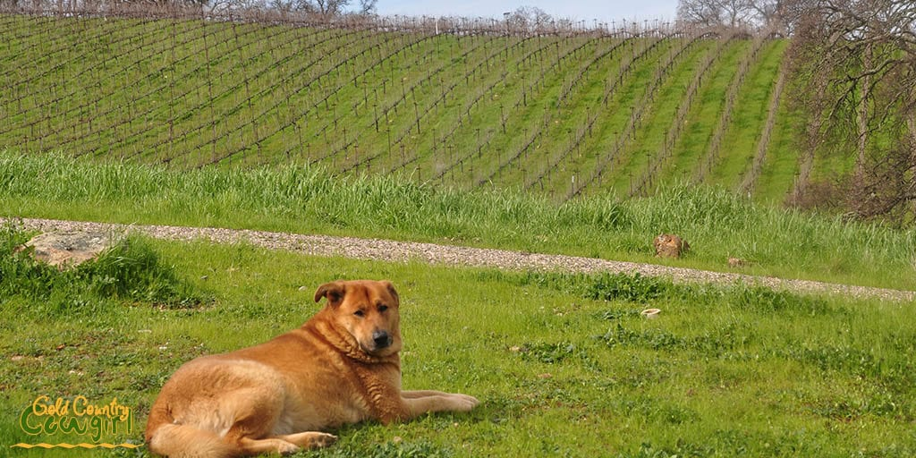 Marley, one of the wine dogs overlooking the vineyard and Wine Tree Farm