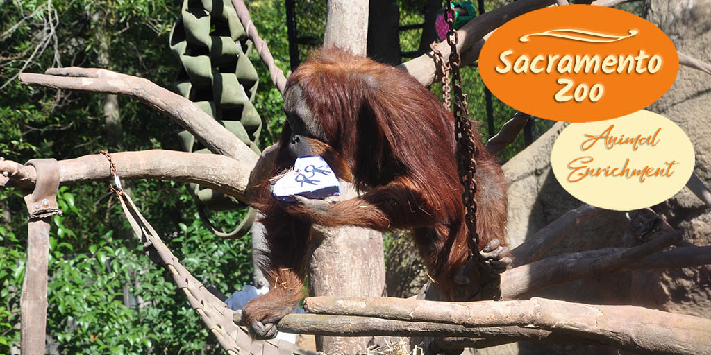 The Sacramento Zoo had a special animal enrichment event in celebration of Valentine's Day. The orangutans made the most of it. Check them out.