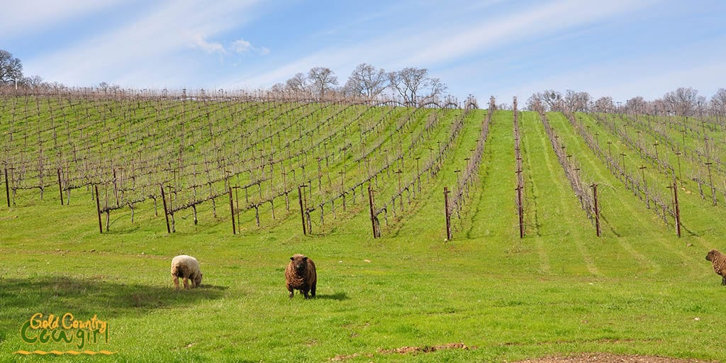 The baby doll sheep in the vineyard