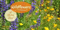 The Electra Road wildflowers are spectacular this time of year and offer an added bonus to any hike along the road and the Mokulemne River.