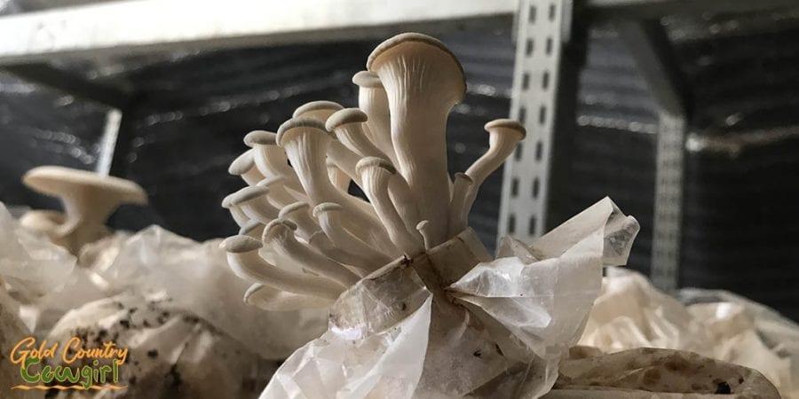 Beech mushrooms - Mushroom Farm Tour -- Dragon Gourmet Mushrooms