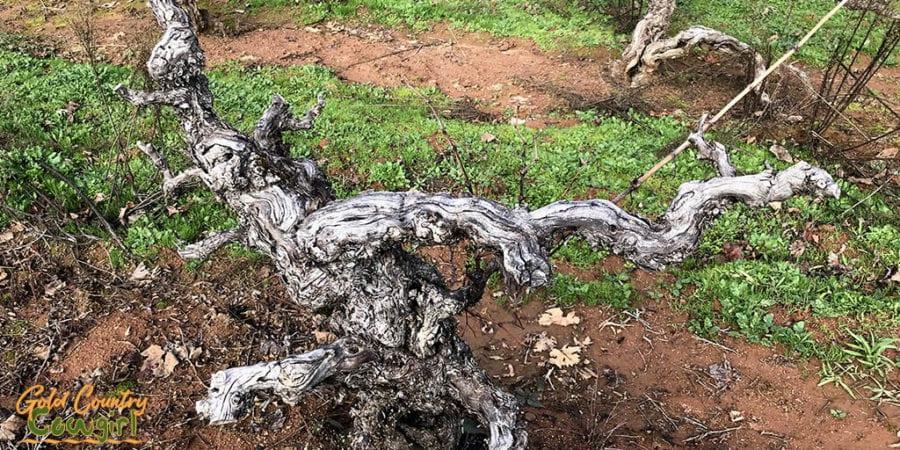 Gnarly old Zinfandel vine