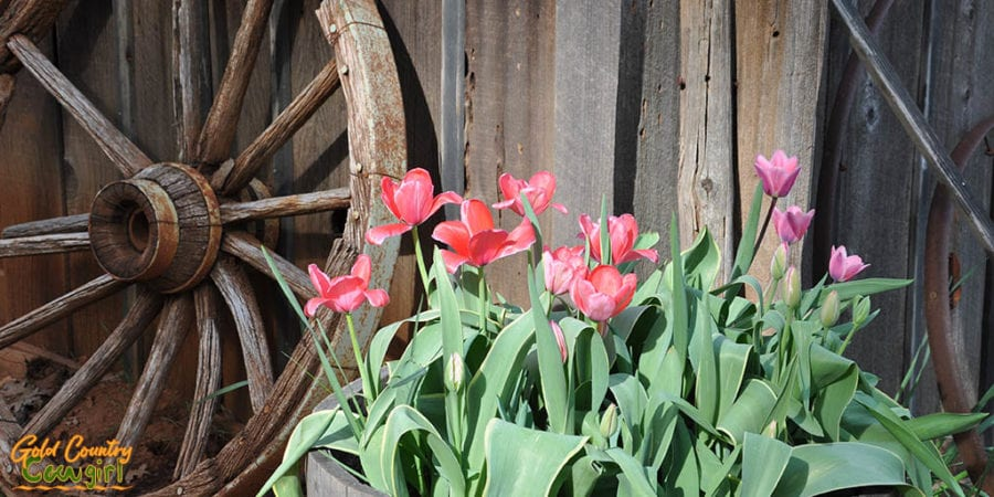 Wagon wheel with orange and pink daffodils