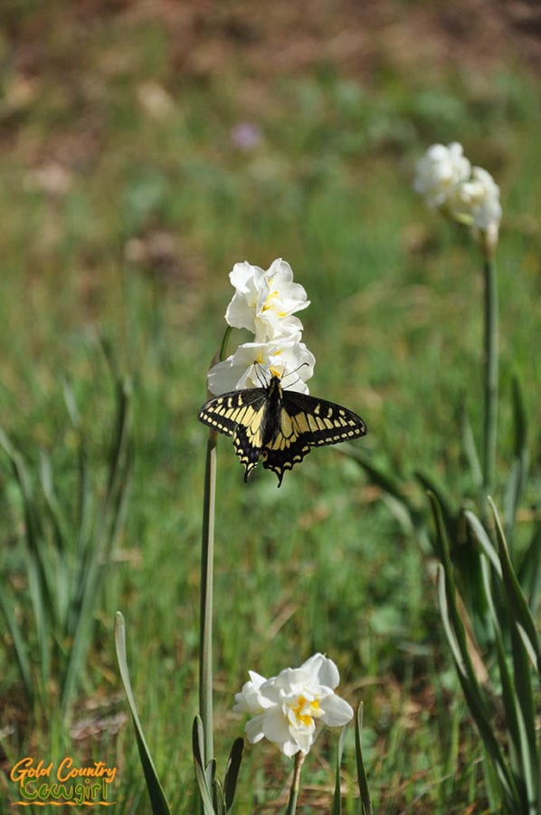 Black and yellow butterfly on white daffodils