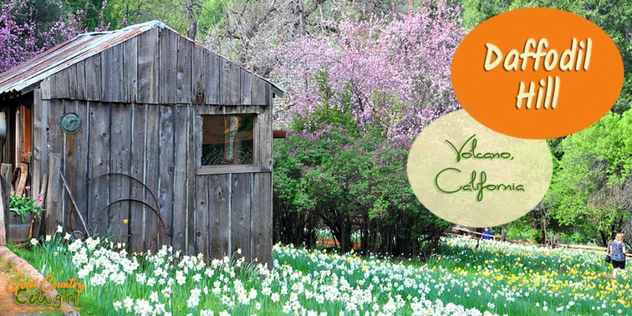 Old shack with daffodils and flowering tree with text overlay: Daffodil Hill Volcano, California