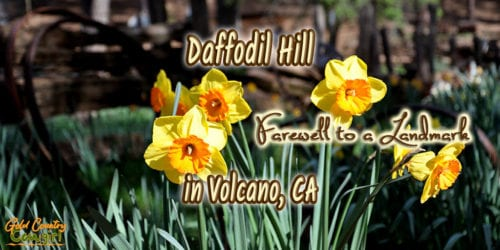 Yellow daffodils with text overlay: Daffodil Hill Farewell to a Landmark in Volcano, CA