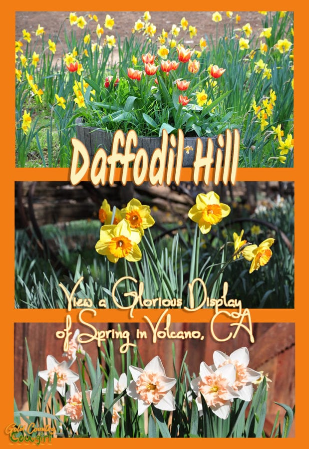 Three photos of daffodils of various colors with text overlay: Daffodil Hill View a glorious display of spring in Volcano, CA