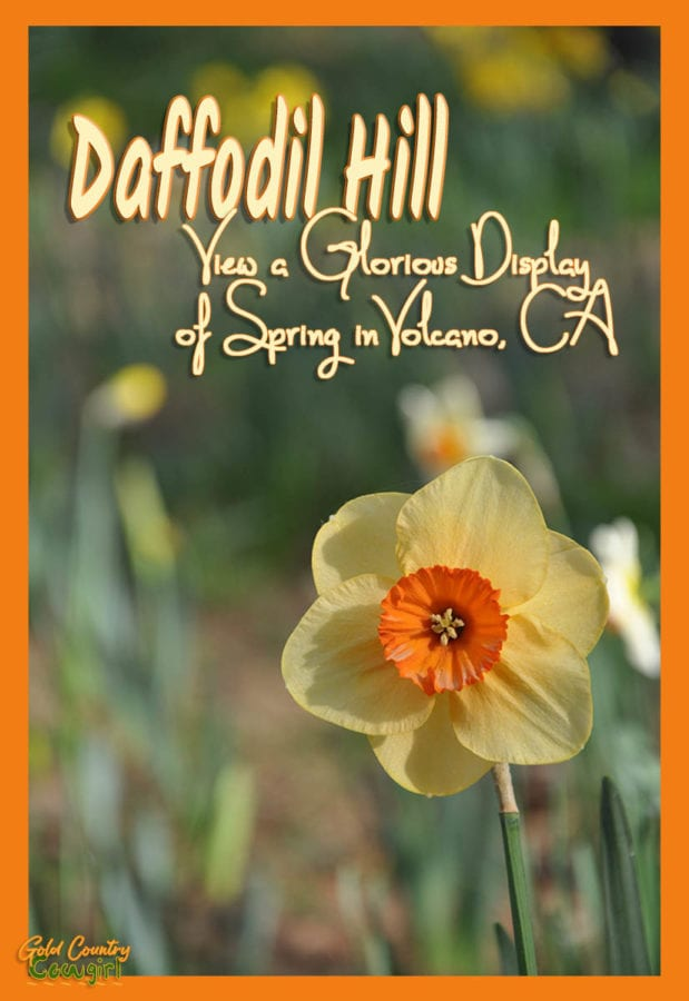 Single yellow and orange daffodil with text overlay: Daffodil Hill, View a glorious display of spring in Volcano, CA
