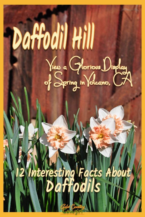 White and salmon daffodils against a red fence with text overlay: Daffodil Hill View a Glorious Display of spring in Volcano, CA, 12 interesting facts about daffodils