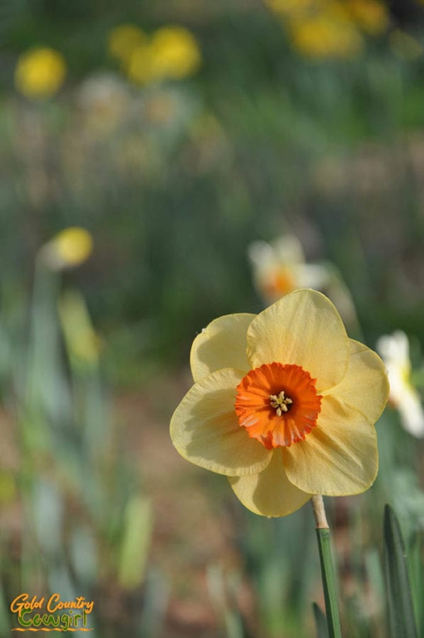 Single yellow and orange daffodil at Daffodil Hill (now closed)