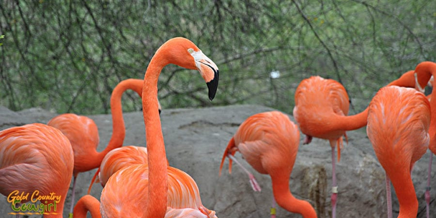 Flamingo at Gladys Porter Zoo