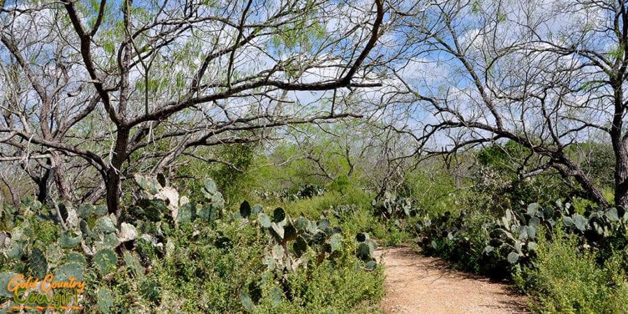 Prickly pear cactus in Hugh Ramsey Nature Park Harlingen TX