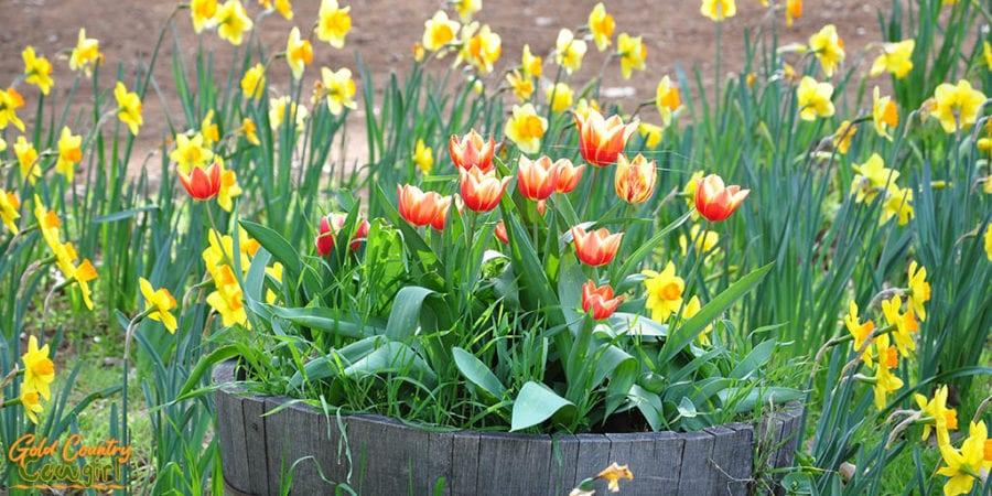 daffodils in a barrel