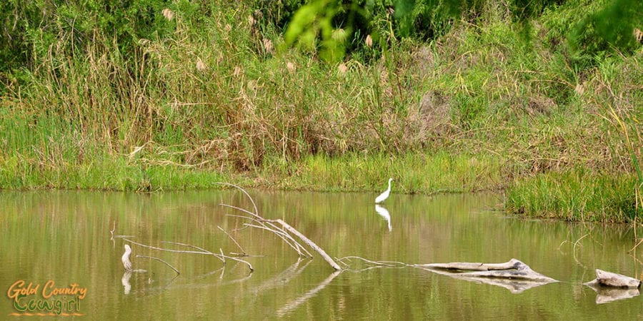 egret in grebe marsh