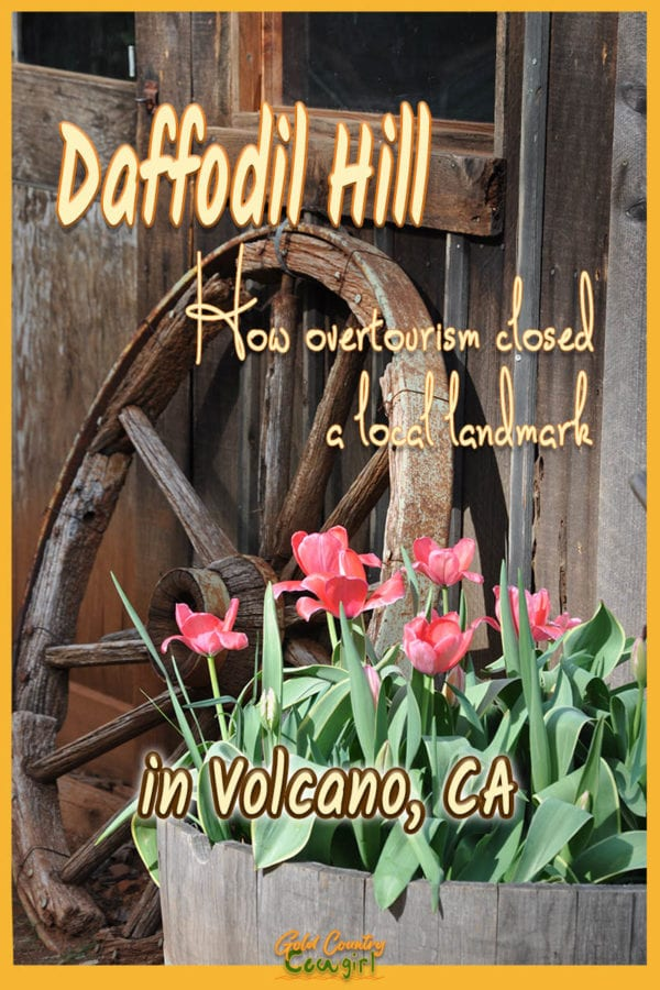 An old wagon wheel and a pot of daffodils with text overlay: Daffodil Hill, How overtourism closed a local landmark in Volcano, CA