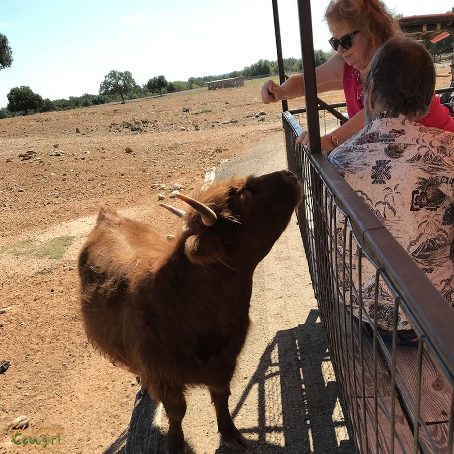 Woman hand feeding an exotic cow